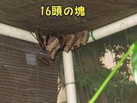 夏眠中ヒオドシチョウ - 秩父の蝶