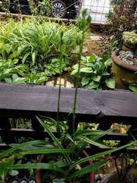 サギソウ、まだ咲かない - natural garden~ shueの庭いじりと日々の覚書き