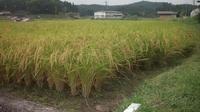 小西米プロジェクトThe Odyssey-30鯉の里は米の郷 - 鯉の里は、米の郷