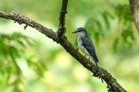 サンショウクイ - 続 鳥撮るclub
