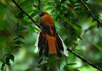 ムナグロキヌバネドリBorneo ボルネオ島の野鳥 キナバル公園 - 可愛い野鳥たち
