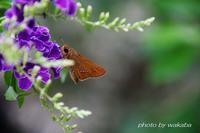 イチモンジセセリ蝶の瞳が可愛い(*^-^*) - 自然のキャンバス