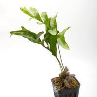 New arrival plants   新掲載植物第5のアリノスダマ(アリ植物)やネペンテスなどなど - ZERO PLANTS / BLOG