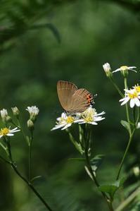 晩夏を感じながらチョウを追う - 蝶超天国