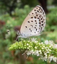 #チョウ 『大和小灰蝶』 Pseudozizeeria maha - 自然感察 *nature feeling*