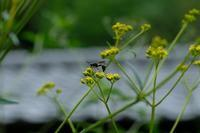 ■初秋の草花19.8.28(オミナエシ、オトコエシ、ナンバンギセル) - 舞岡公園の自然2
