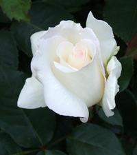 「バラを贈る時の3つのポイントとは」NTTドコモさんのサイトにてご掲載頂きました。 - バラとハーブのある暮らし Salon de Roses