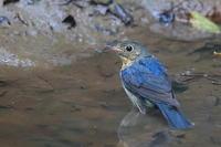 コルリの若 - 上州自然散策2