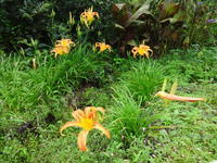 野萱草 - だんご虫の花