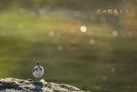 イソシギ - 北の野鳥たち