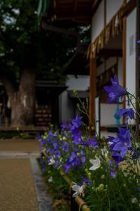 清明神社の桔梗 - 鏡花水月