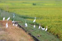 白い鳥がいっぱい - 綺麗な野鳥たち