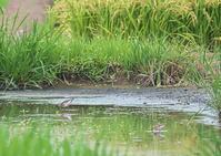 ヒバリシギ&タカブシギ - くまさんの鳥撮り