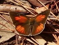#チョウ 『裏銀小灰蝶 ♂ ♀』 Curetis acuta paracuta - 自然感察 *nature feeling*