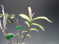 キバナノセッコク神衣 - DREAM GRASSES