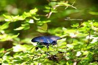 水場で見られたアゲハチョウ - azure 自然散策 ~自然・季節・野鳥~