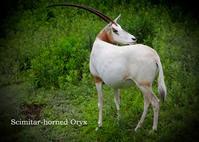 シロオリックス:Scimitar-horned Oryx - 動物園の住人たち写真展(はなけもの写眞店)