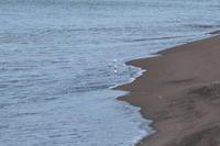 ミユビシギとトウネン・石狩の浜辺で - 今日の鳥さんⅡ