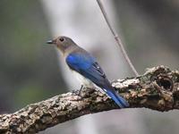 エキスポ記念の森オオルリ他 - 不定期更新 彩都付近の自然観察日記