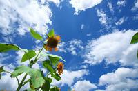 夏の終わり・向日葵 - 但馬・写真日和