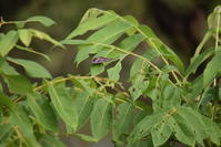 クロコムラサキ8月31日 - 超蝶