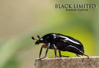 限定カラー ブラック登場 - ぼんぼんトントン 写真