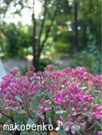 モーニングとお庭のお花♪ - まこぺんこ's  WORLD      のんびり安曇野ぐらし♪