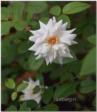 ベランダの薔薇 - 小さな庭 2