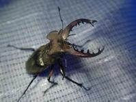 ミヤマクワガタ - みちのく虫観察