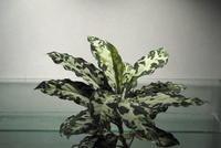 Aglaonema pictum 'Messiah' - PlantsCade -2nd effort