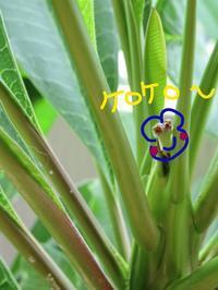 わーい、きっと花芽〜♪ - Aloha Kayo-s Style