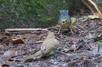 キビタキを威嚇するコルリの若 - 上州自然散策2