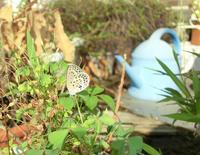 自宅で見つけたヤマトシジミ と 絶滅が危惧されるシジミチョウ3種 in2019.08~09 - ヒメオオの寄り道