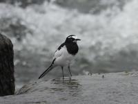セグロセキレイ他@多摩川宿河原堰 - 青爺の野鳥日記
