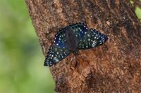 スミナガシ - 蝶と自然の物語