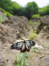 狙いのタテハはおらず・・・アサギマダラと遊ぶ - 蝶超天国