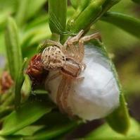 #クモ 『闇色蟹蜘蛛』 Xysticus croceus. - 自然感察 *nature feeling*