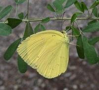 #チョウ #マメ科  『北黄蝶』 Eurema mandarina - 自然感察 *nature feeling*