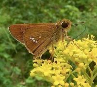 #チョウ #秋の七草 『一文字挵』Parnara guttata - 自然感察 *nature feeling*