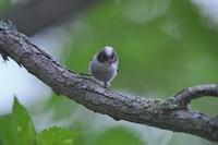 シマエナガノの幼鳥達 - 彩の国 夢見人のフォト日記