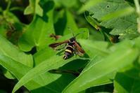 ■これも蛾?19.9.1(ヒメアトスカシバ、モモブトスカシバ、ホシホウジャク) - 舞岡公園の自然2