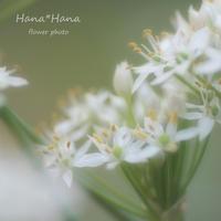 *ニラの花* - HANA*HANA