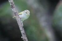 センダイムシクイ - 上州自然散策2