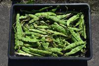 自然栽培インゲン炭疽病虎豆にも鶴居村のプロ - 自然栽培 釧路日記