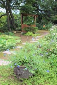 演技派のアメリカンブルー&オカトラノオ - ペコリの庭 *