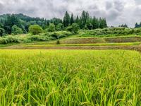 松之山の棚田の農作業に行ってきた - デジカメ写真集