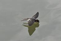 ツバメの水飲み - 風のささやき