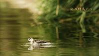アカエリヒレアシシギ - 北の野鳥たち