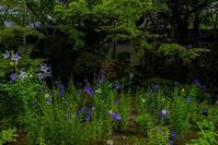 天授庵の桔梗と青もみじ - 鏡花水月