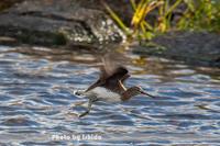 クサシギ - 野鳥 飛翔フォト